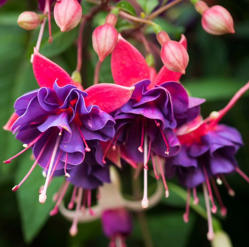 Fuchsia-Royal-Academy-cr-RHS-Joanna-Kossak-sl