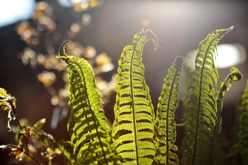 Sunlight-through-fern-fronds-cr-RHS-Bethany-Clarke