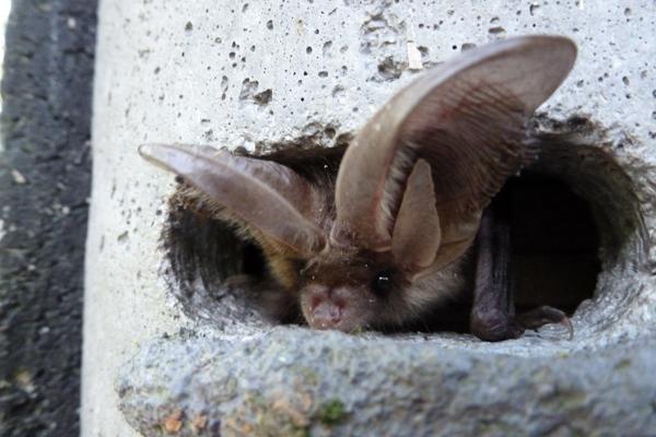 Bat-Walk-cr-RHS-wois