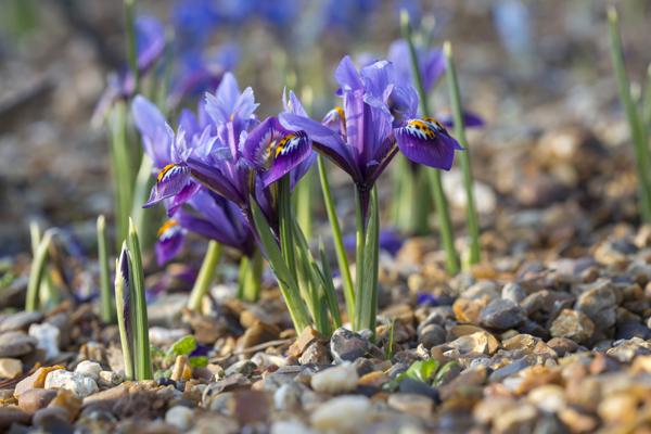 RHS-Garden-Wisley-Feb-events-Iris-Show-cr-RHS-Mark-Winwood-wois