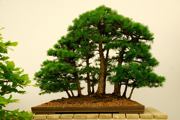 RHS-Garden-Wisley-March-events-2019-Bonsai-Show-cr-RHS-Martin-Mulchinock-wois