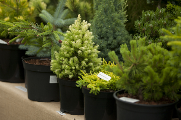 RHS-Garden-WIsley-October-events-2019-Conifer-Show-cr-RHS-Jessica-Bernard