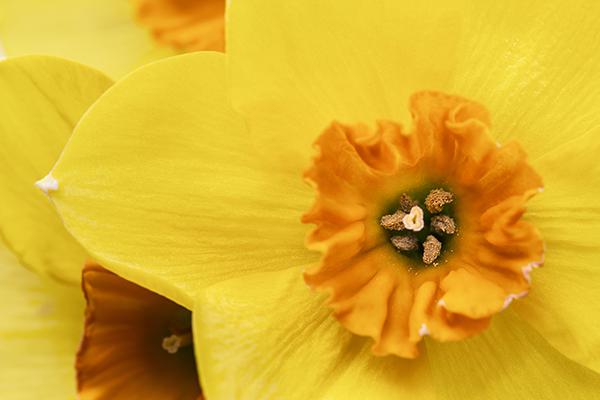 RHS-Garden-Wisley-events-March-2020-Daffodil-comp-cr-RHS-Neil-Hepworth-wois